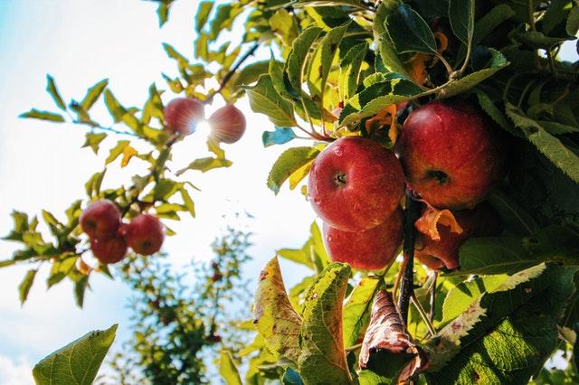 jabłka na drzewie z których zostanie stworzony koncentrat spożywczy